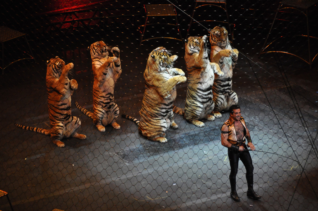 tiger_tamer_Ringling_brothers_over_the_top_tiger